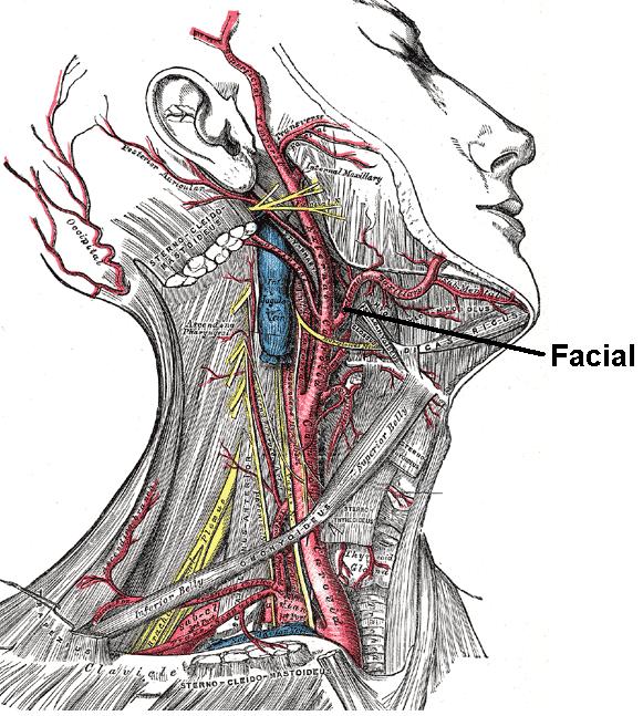 Arteria facialis - Wikiwand