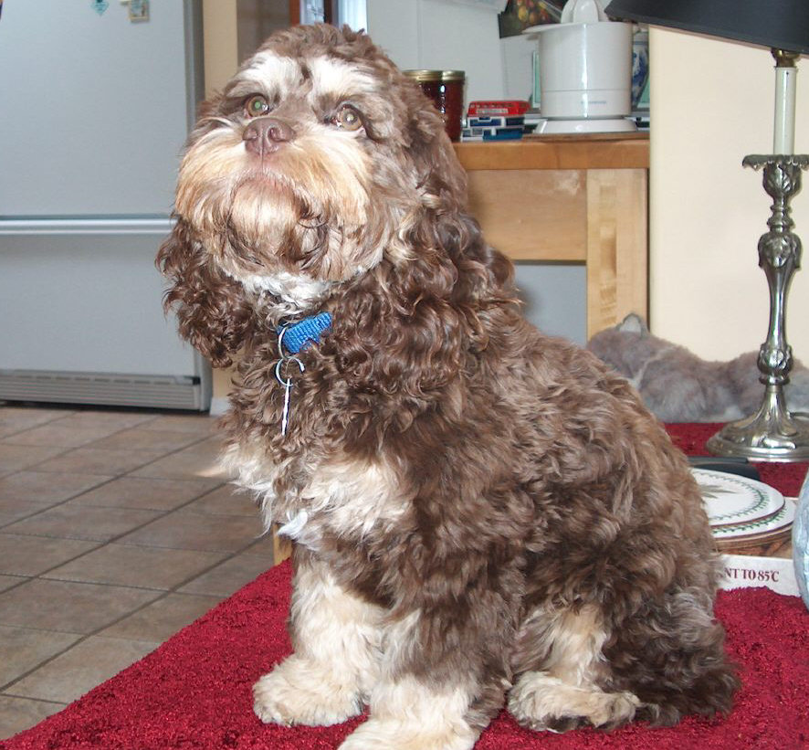 file first generation cockapoo chocolate and tan