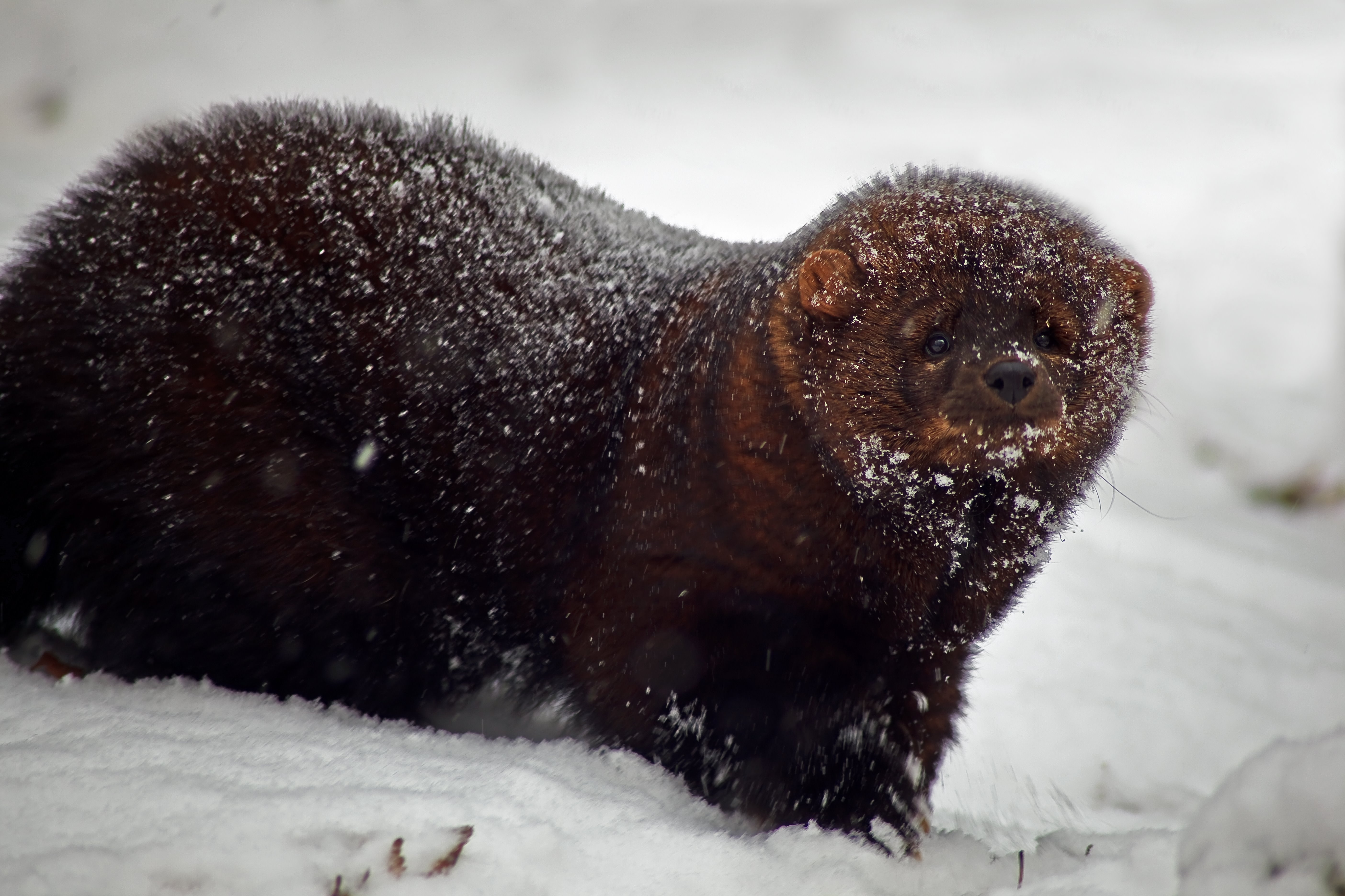File:Fisher-animal-snow-storm - West Virginia - ForestWander.jpg - Wikimedia Commons