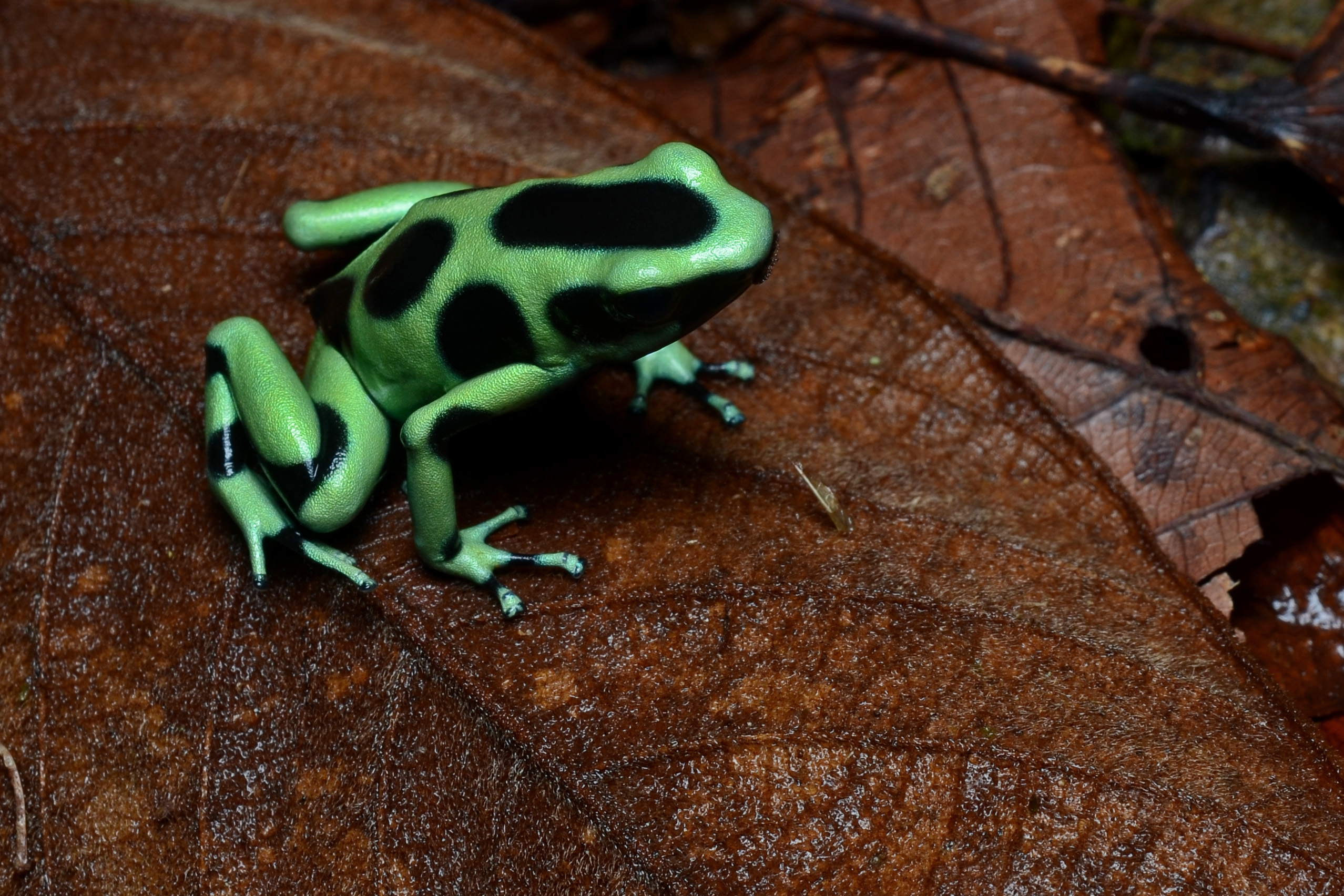 File:Flickr - ggallice - Green and black poison dart frog (2).jpg -  Wikimedia Commons