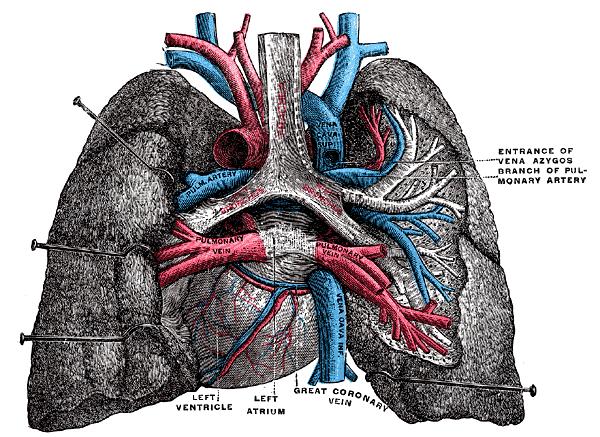 Veine pulmonaire — Wikipédia