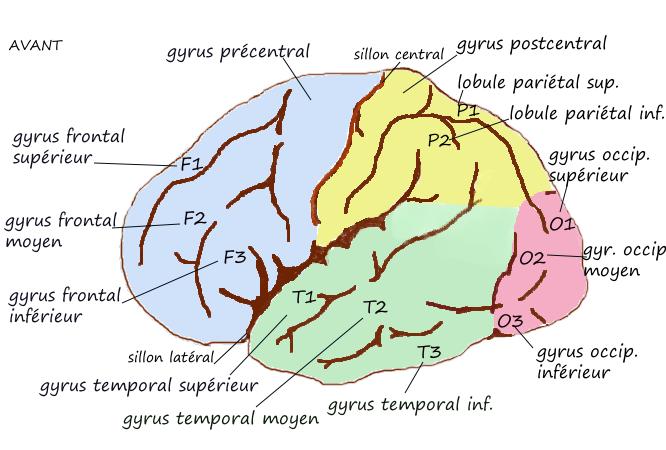 ILLUSTRATION : Gyrus temporal moyen (Source : Wikimedia commons)