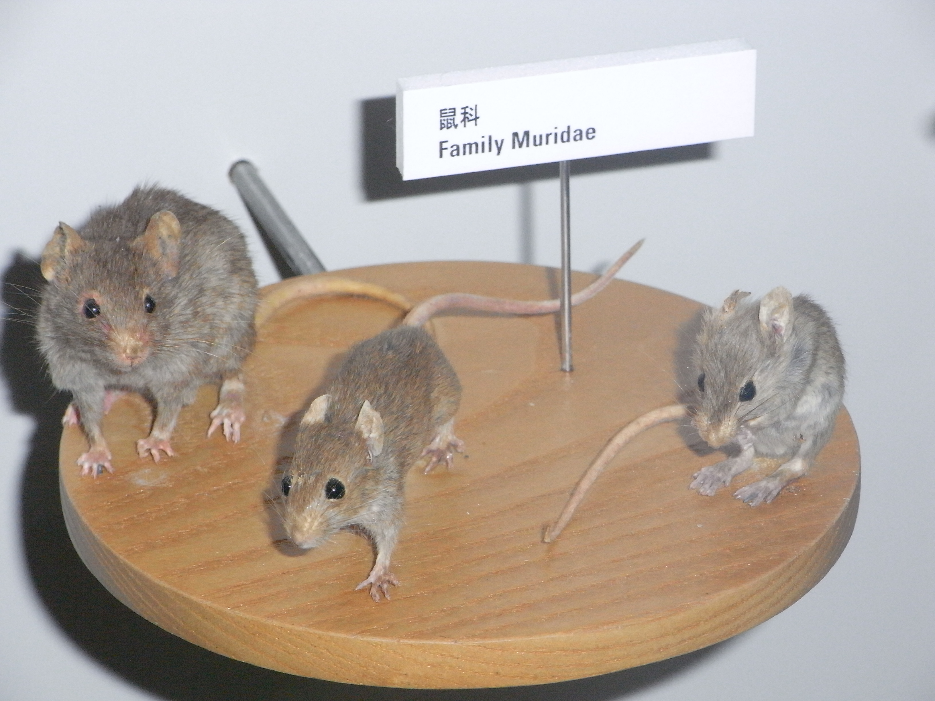 Old World Rats and Mice (Family Muridae)