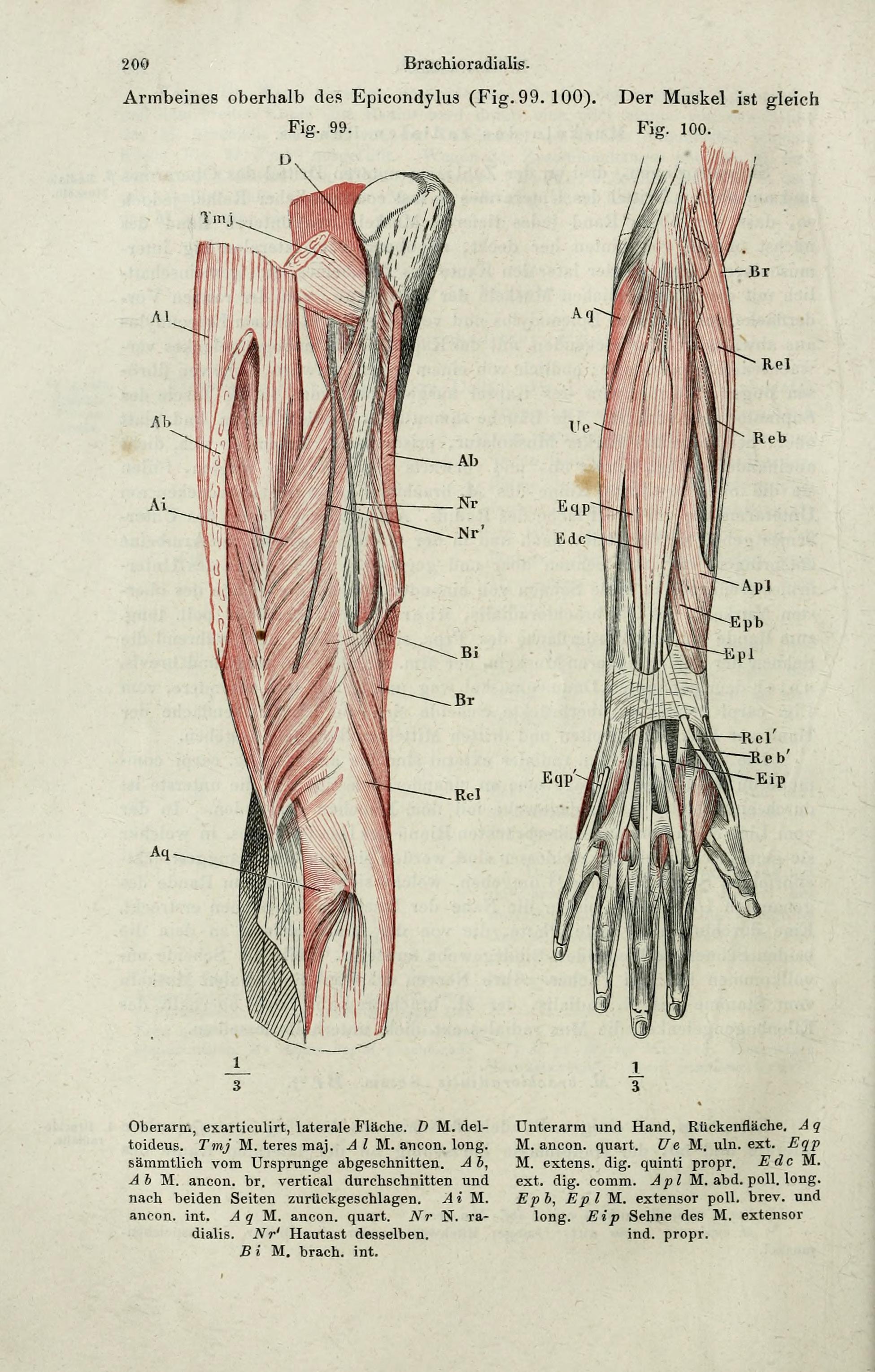 File:Handbuch der systematischen Anatomie des Menschen (Page 200 ...