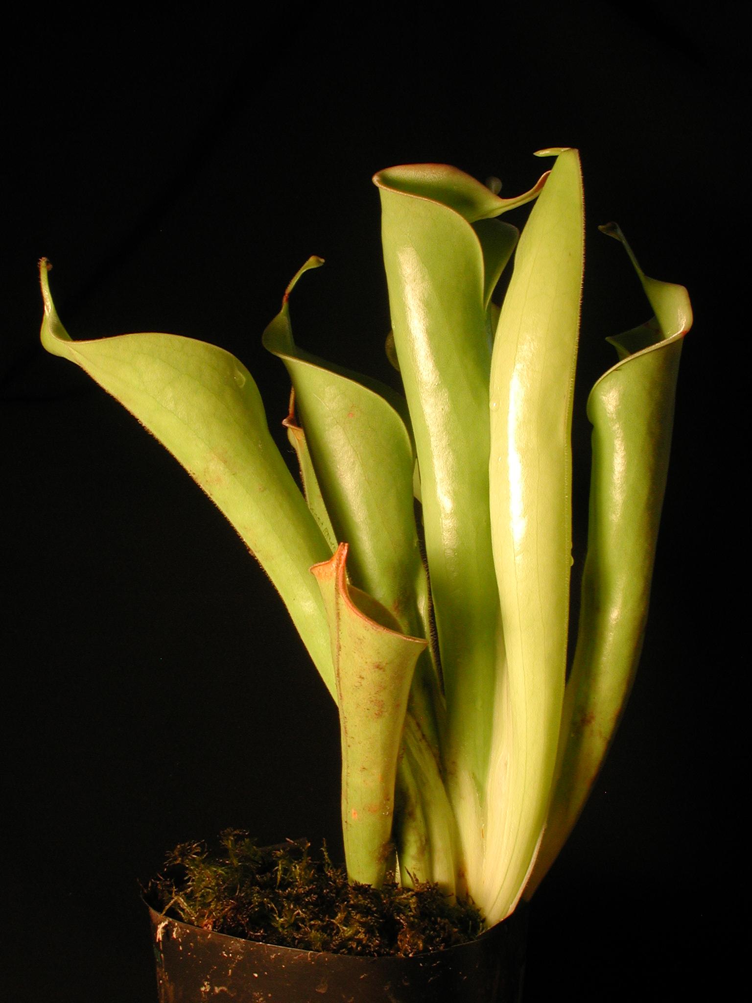 heliamphora tatei.jpg