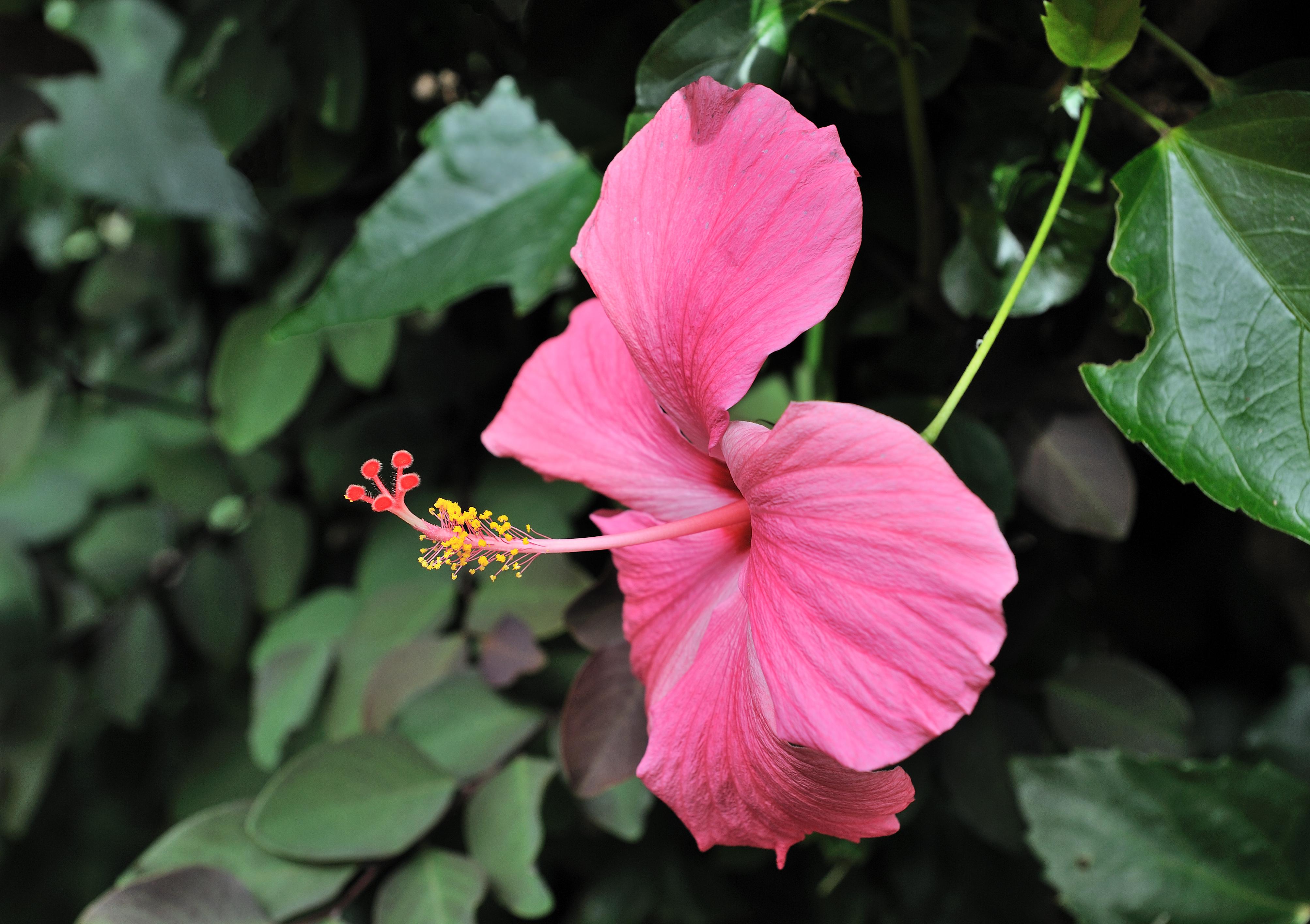 Filehibiscus rosa sinensis santiago cape verdeg wikimedia commons filehibiscus rosa sinensis santiago cape verdeg izmirmasajfo