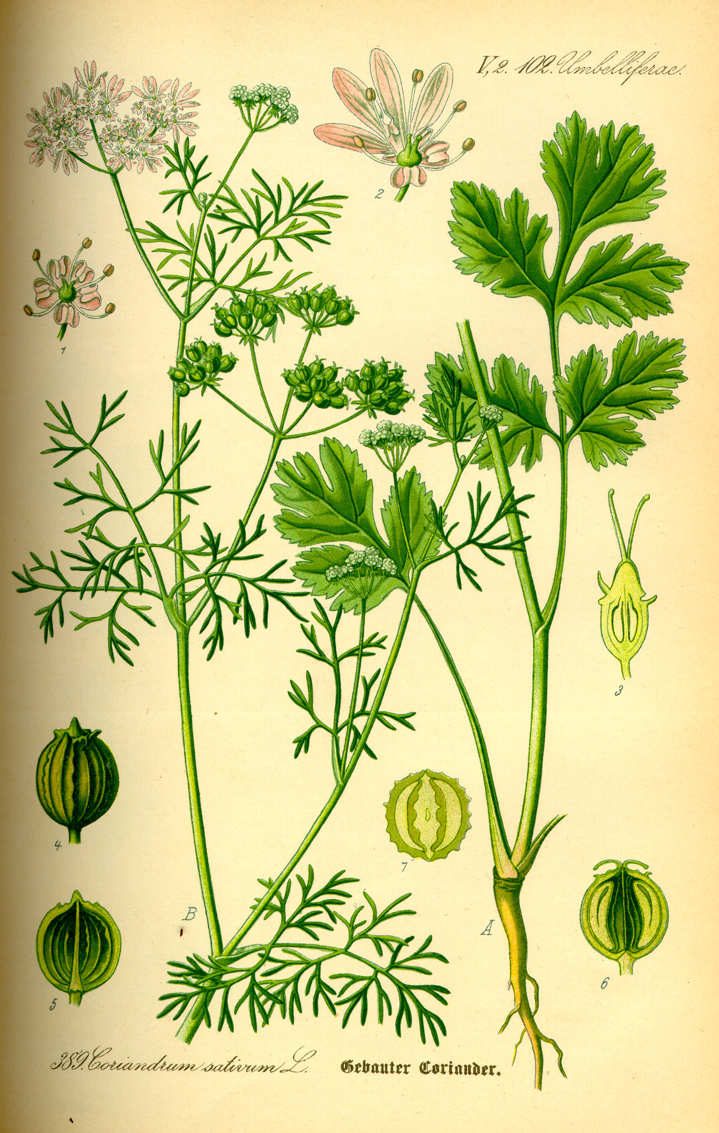 Coriander is Cilatro