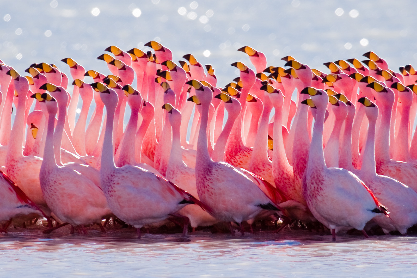 http://upload.wikimedia.org/wikipedia/commons/f/f6/James%27s_Flamingo_mating_ritual.jpg