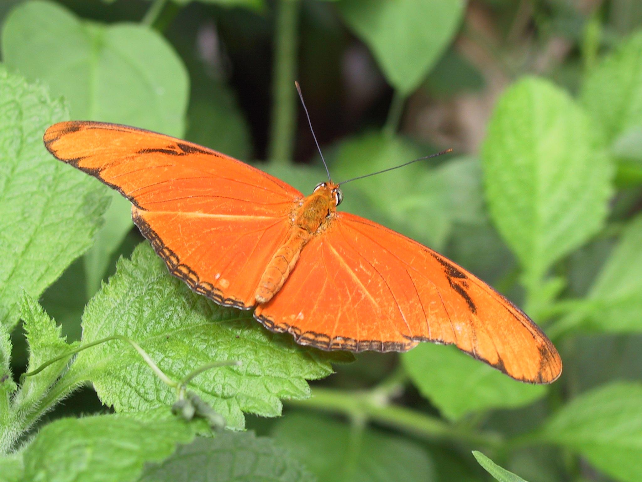 Http En Wikipedia Org Wiki File Julia Heliconian Butterfly Jpg