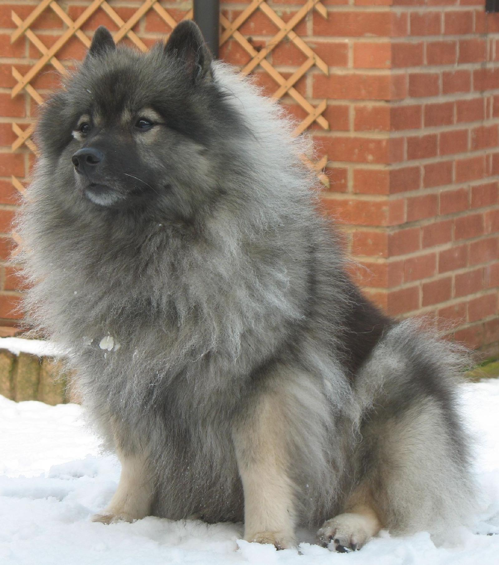 Dog Breeds Beginning With K