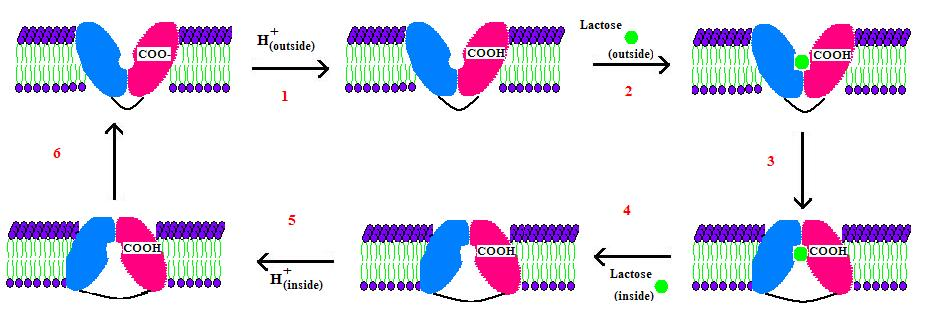 Lactose Permease Mechanism.