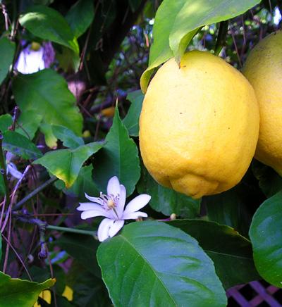 File:Lemon 8FruitAndFlower wb.jpg
