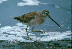 definition of dowitcher