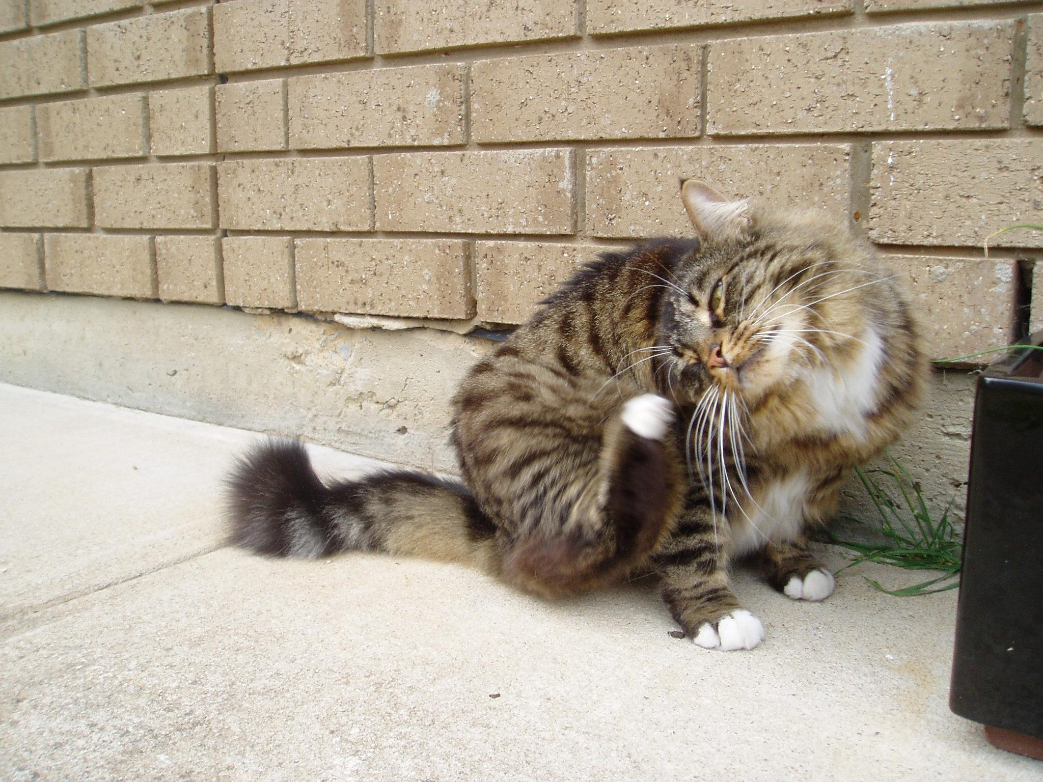 http://upload.wikimedia.org/wikipedia/commons/f/f6/Munchkin_cat_grooming.jpg