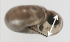 Notodiscus hookeri shell.png