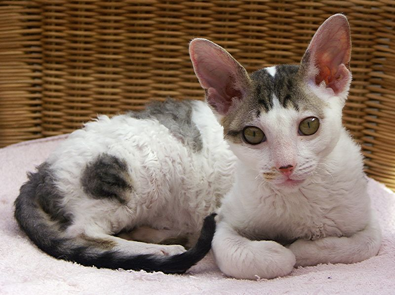 Cornish Rex Wikipedia