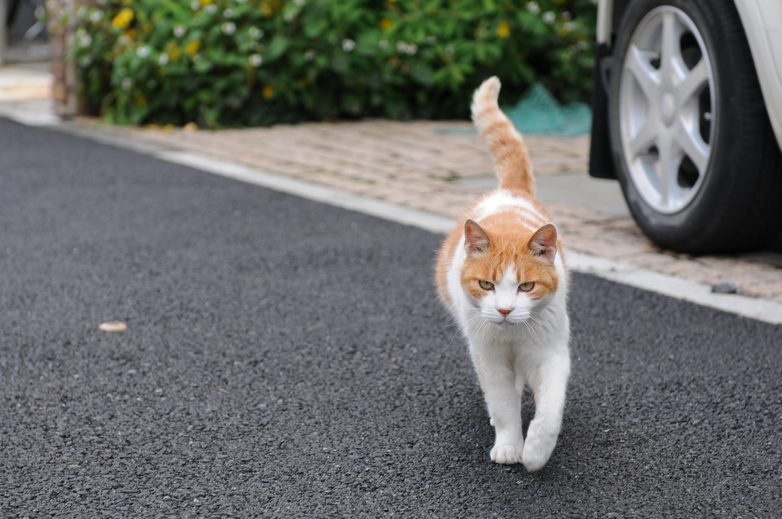 File Orange And White Tabby Cat Walking Hisashi