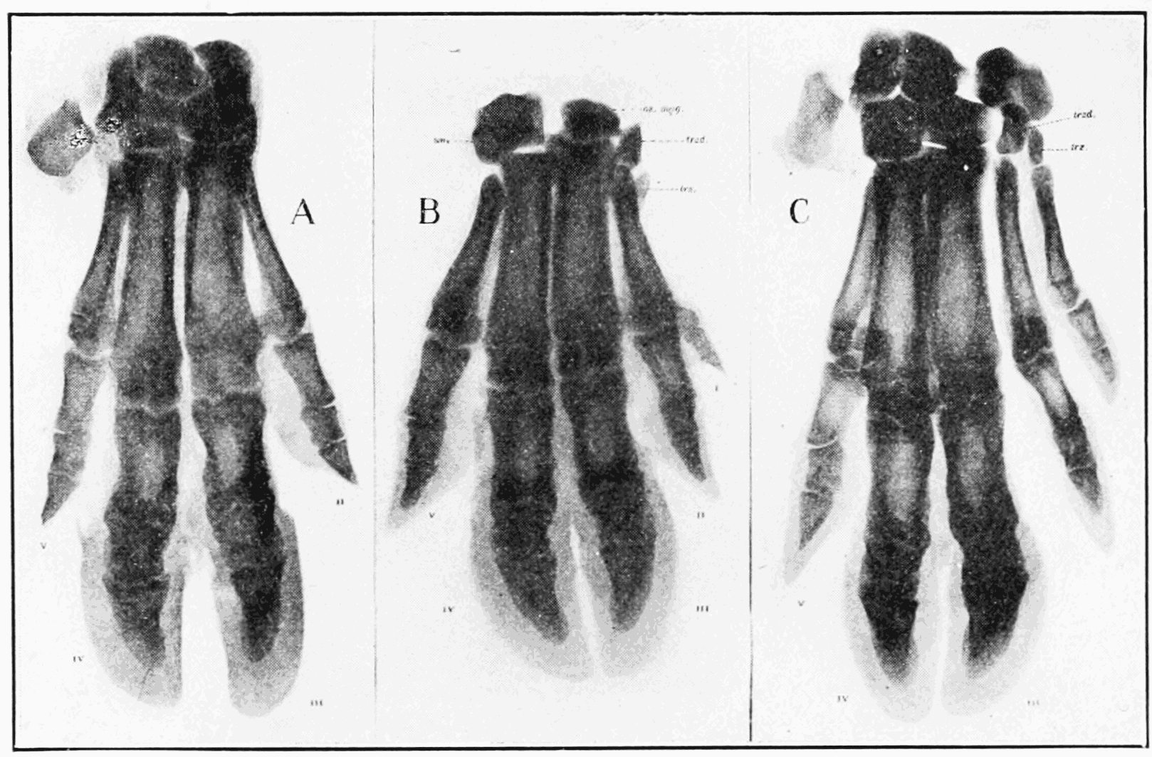 PSM V68 D344 X ray of a pig manus showing normal and reversionary polydactylism.png