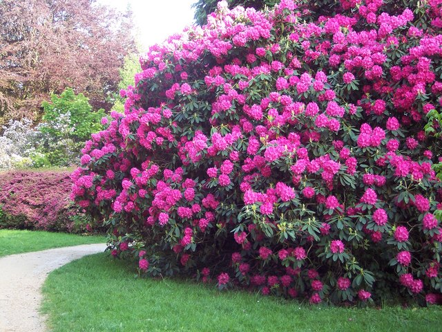Rhododendrons near Heaven's Gate - geograph.org.uk - 445041