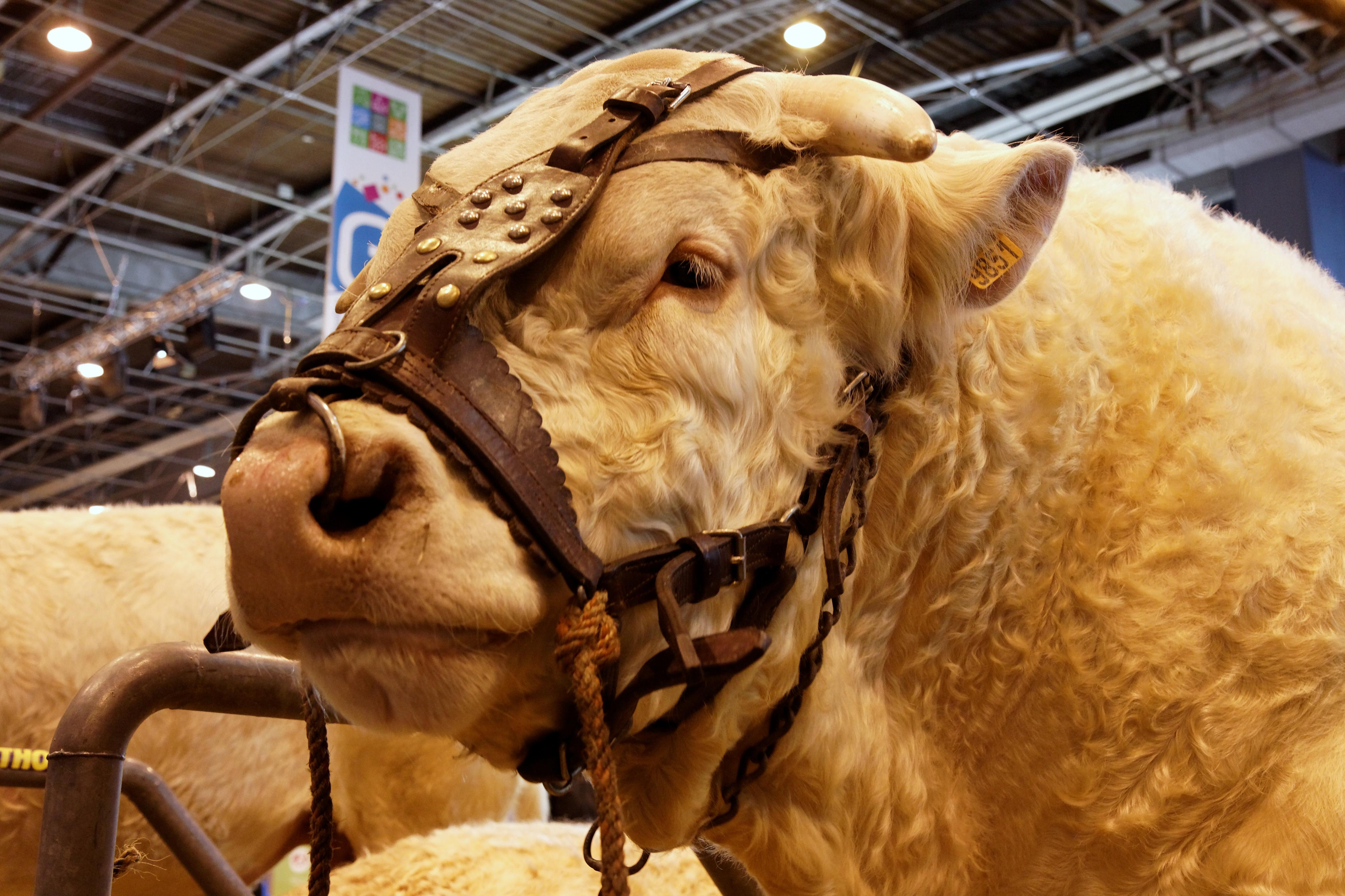 File salon de l 39 agriculture 2011 taureau charolais 08 - Salon de lagriculture ...