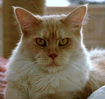 Shaded Tan Maine Coon cat