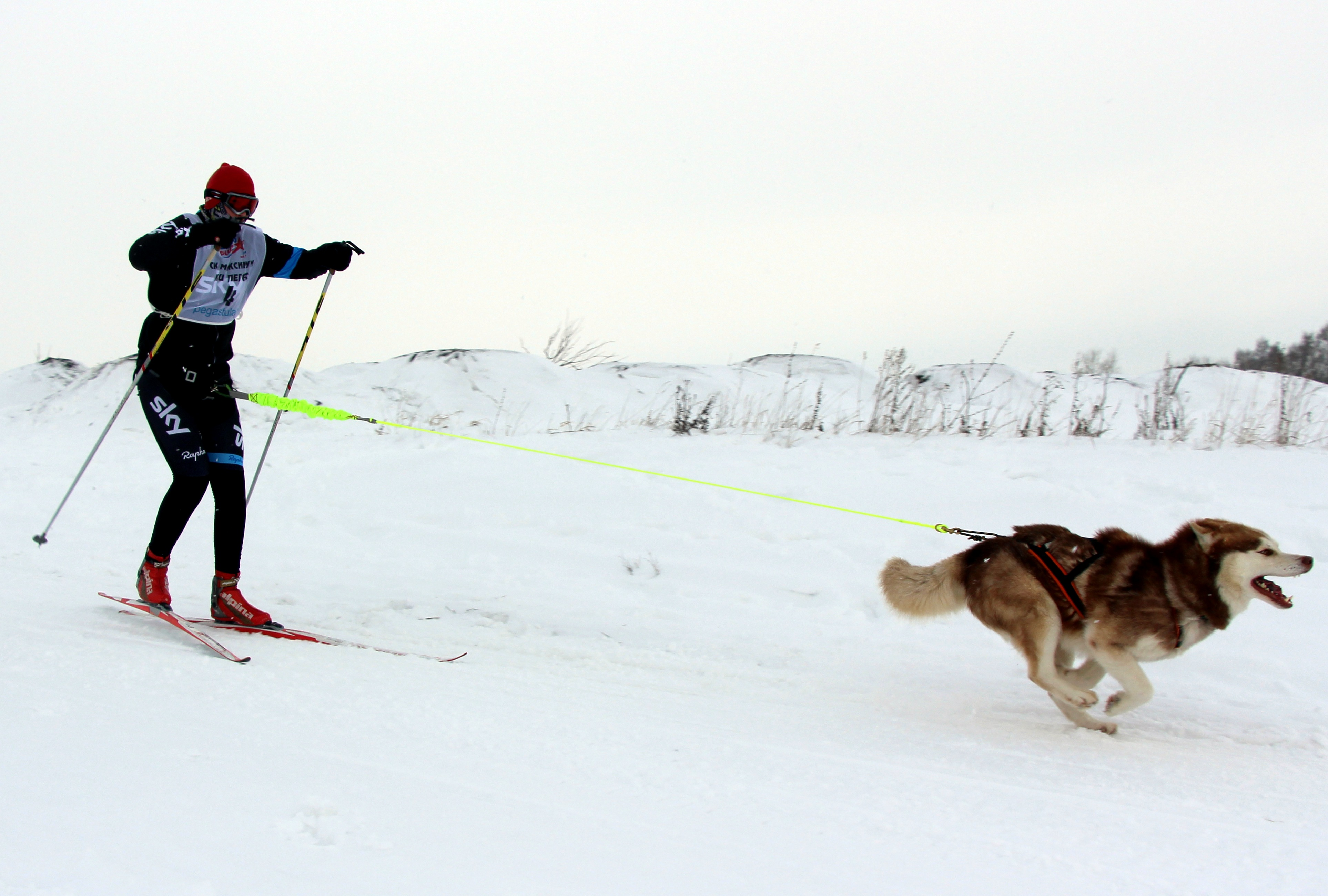Image result for skijoring dog