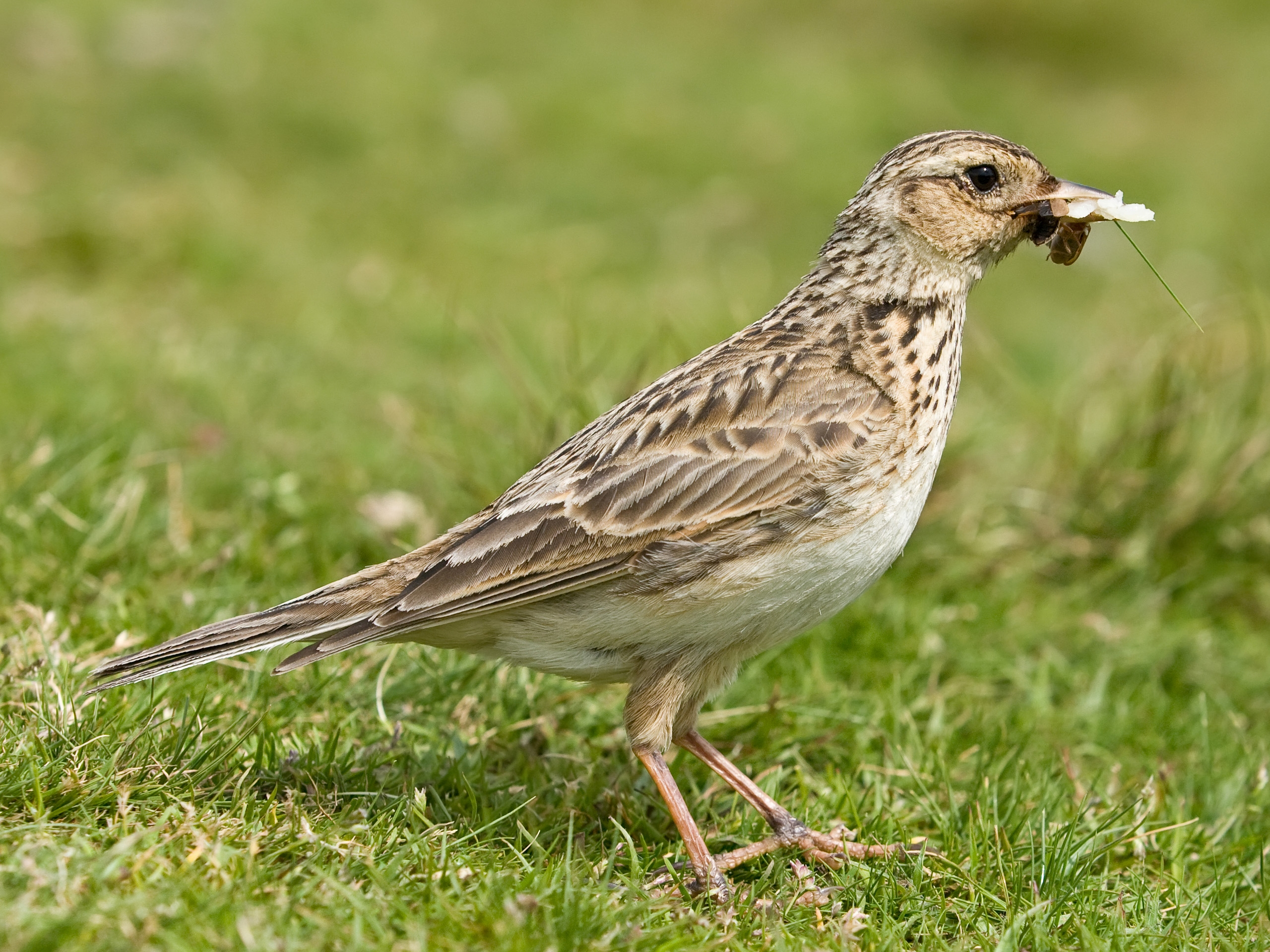 to a skylark Skylark definition is — define skylark: a common largely brown old world lark (alauda arvensis) noted for its song especially as uttered in flightdefine skylark: a common largely brown old world lark (alauda arvensis) noted for its song especially as uttered in flight how to use skylark in a sentence.
