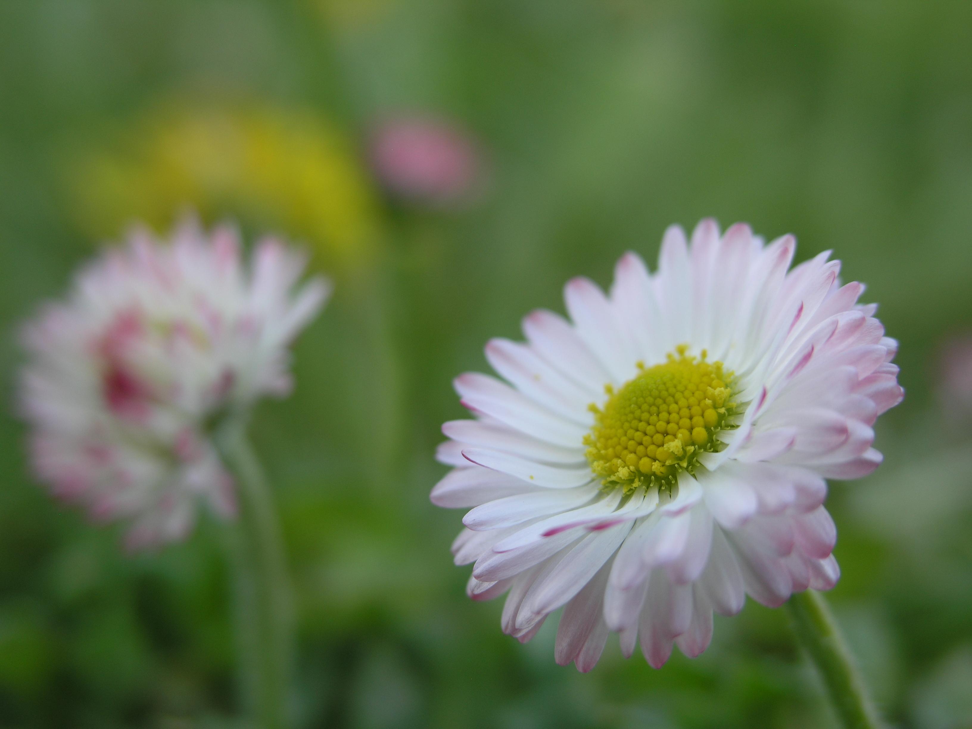 File Small Flower JPG Wikimedia mons