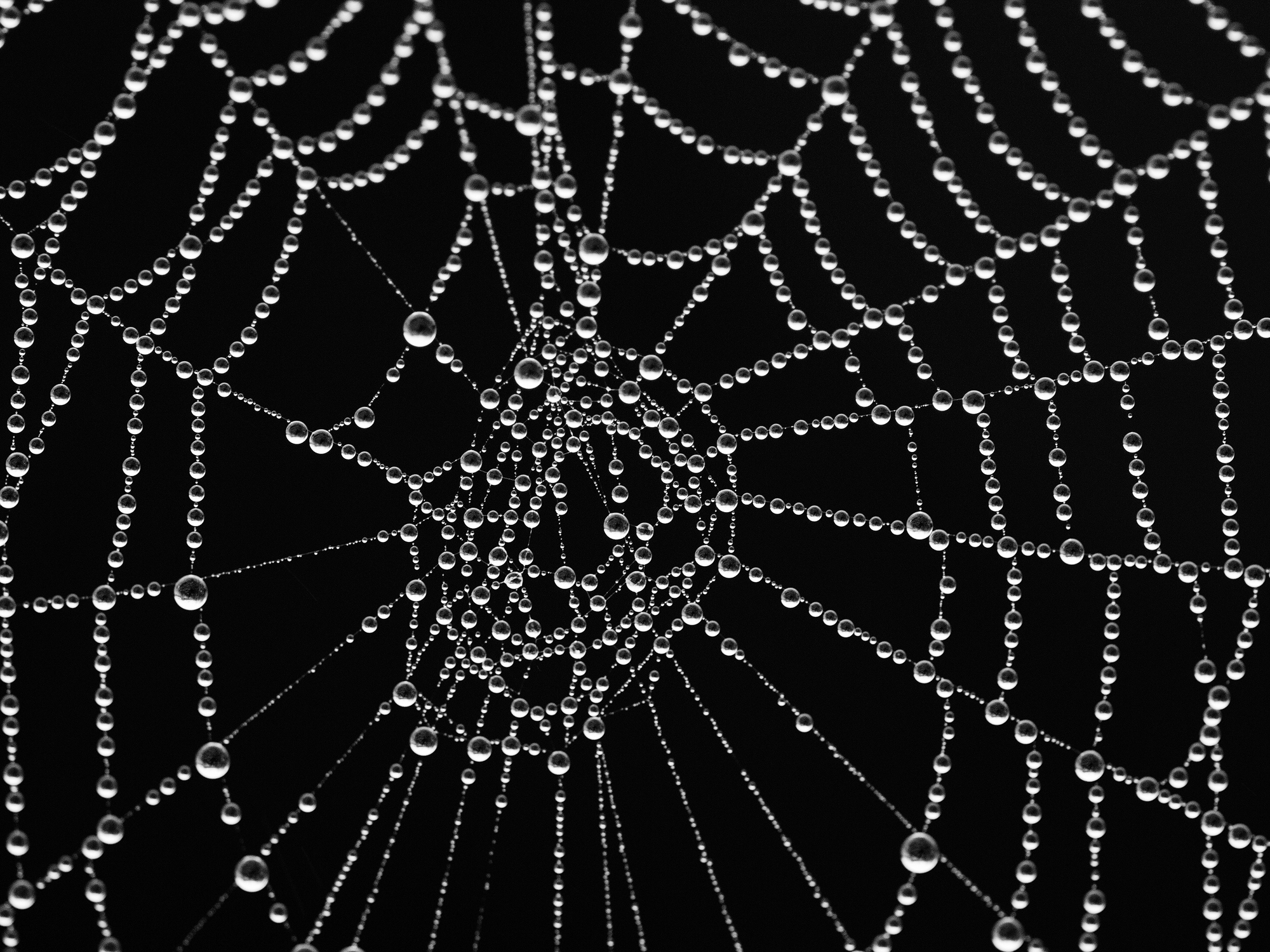 filespider web with morning dewjpg wikimedia commons