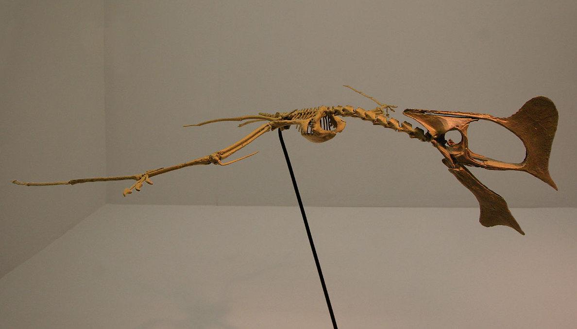 Pterosaur Skeleton Tapejara (pterosaur)
