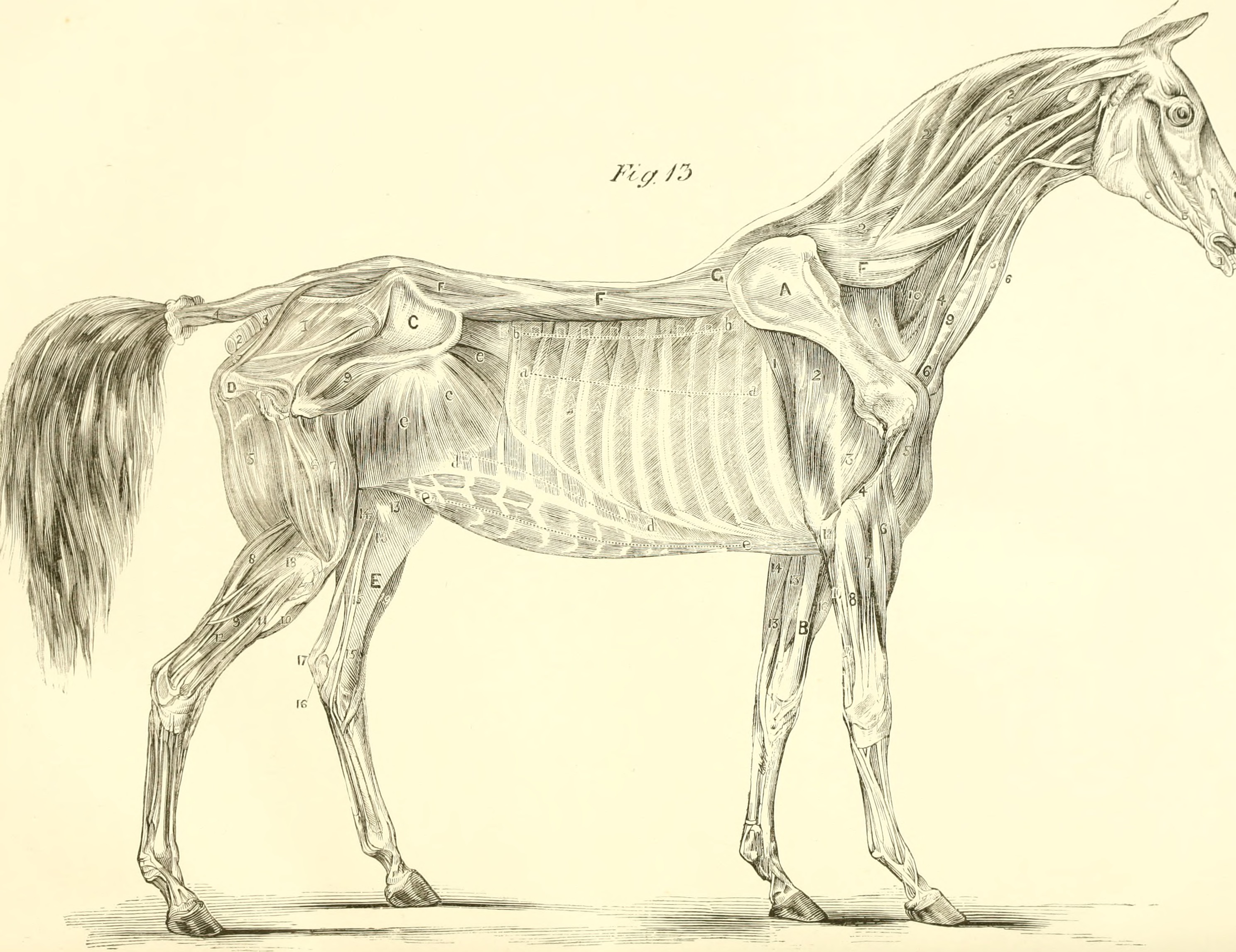 File:The anatomy and physiology of the horse- with anatomical and ...