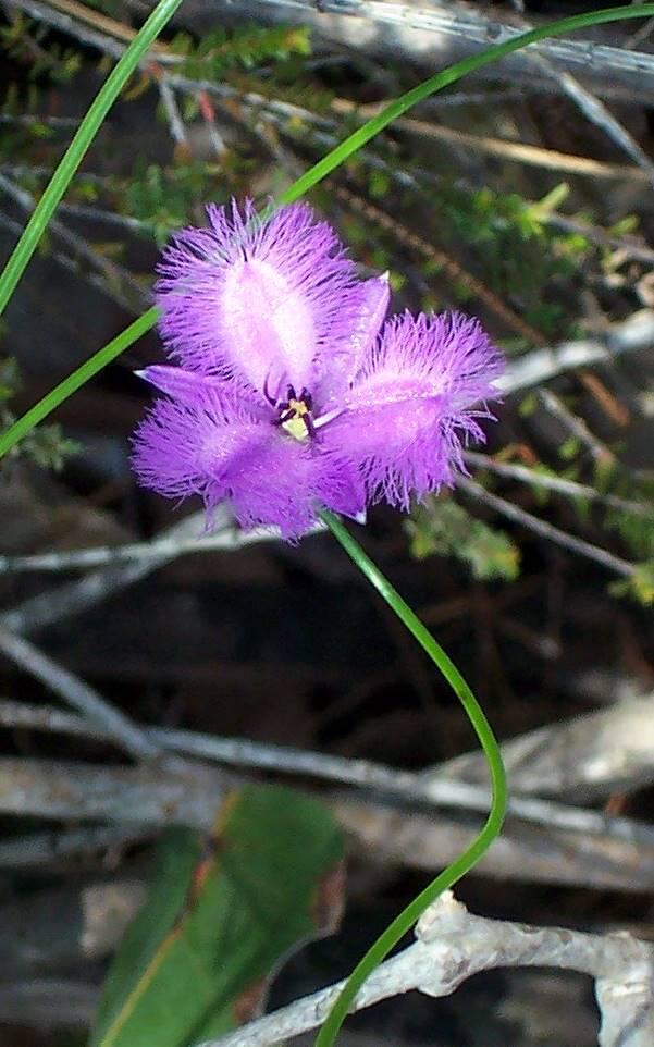 Thysanotus Tuberosus Wikipedia
