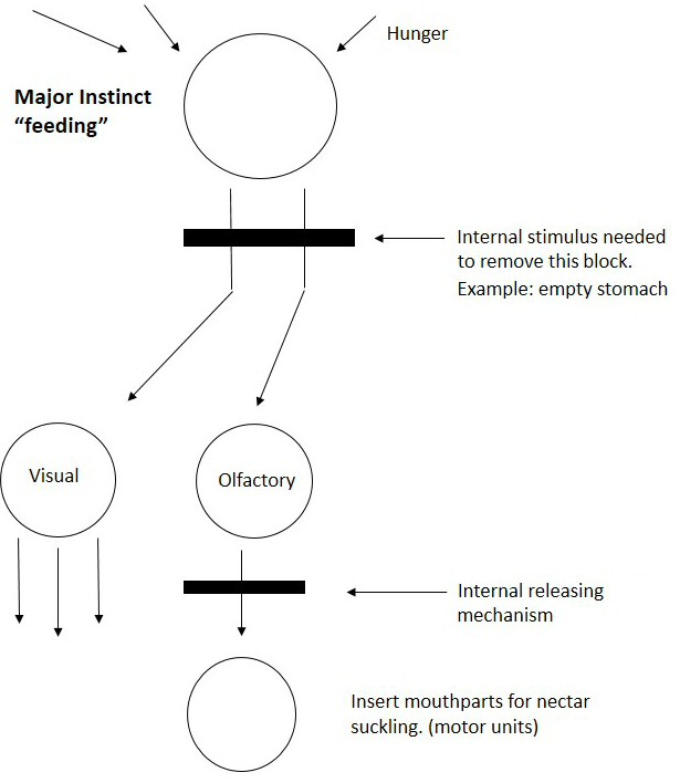 Figure 1. Tinbergen's hierarchical model. Modified from The Study of Instinct (1951). Tinbergen good figure wiki2.jpg