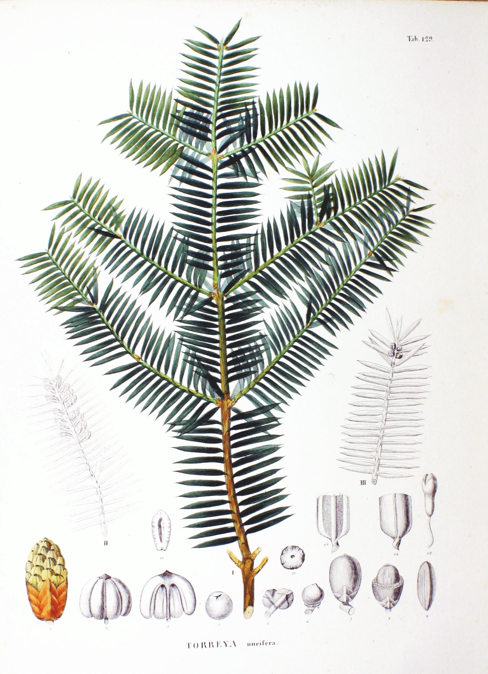 planche botanique du torreya nucifera