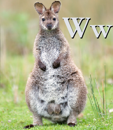 W is for Wallaby.png
