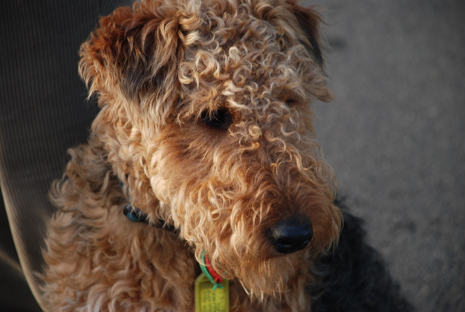 Image Result For Airedale Poodle Mix