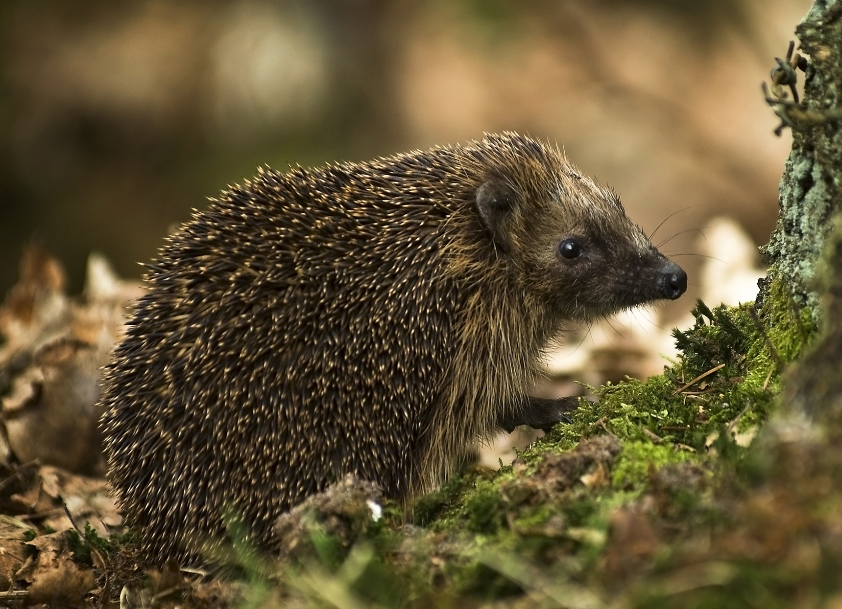 In England, hedgehogs are considered an endangered species ...