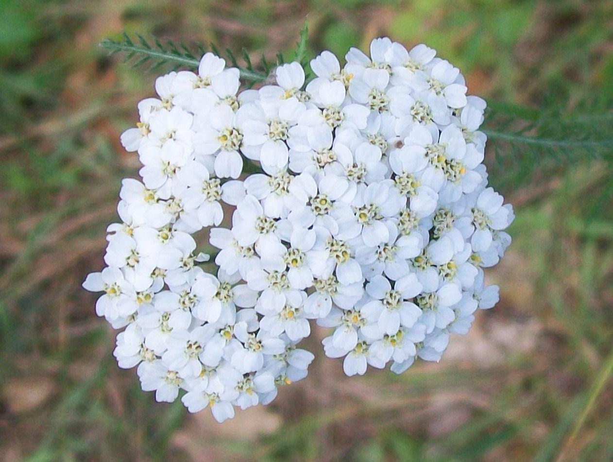 yarrow flower - photo #11