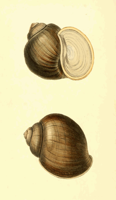 Zoological Illustrations Volume III Plate 120.jpg