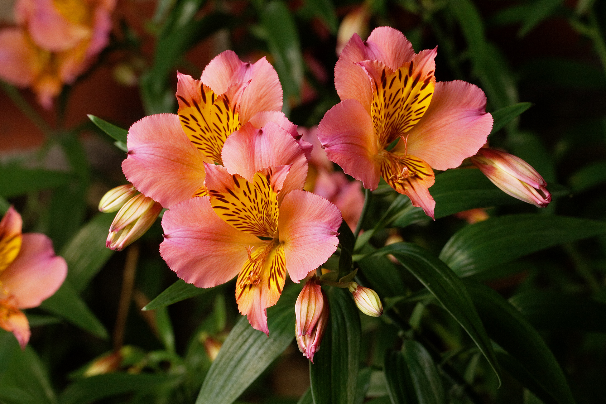 file alstroemeria aurea 39 saturne 39 jpg wikipedia. Black Bedroom Furniture Sets. Home Design Ideas