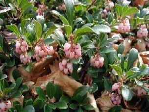 Blomstrende Hede-Melbærris.