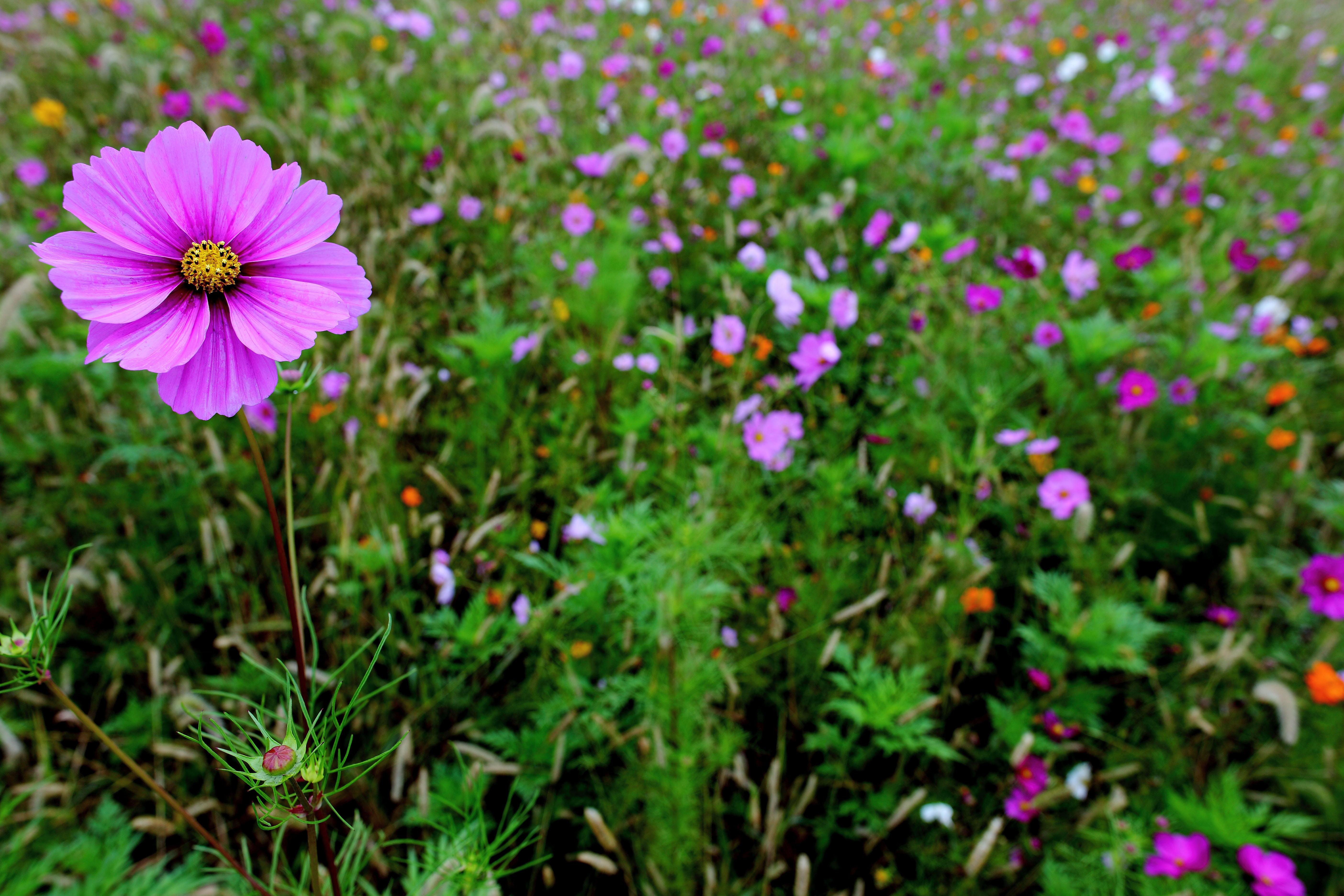 Fileautumn Tall Pink Flower Sharp Virginia Forestwanderg
