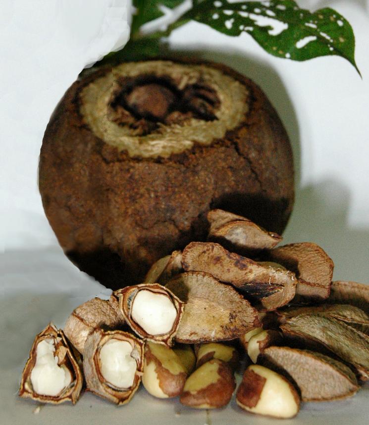 как растет бразильский орех фото истеблишмент запада любит