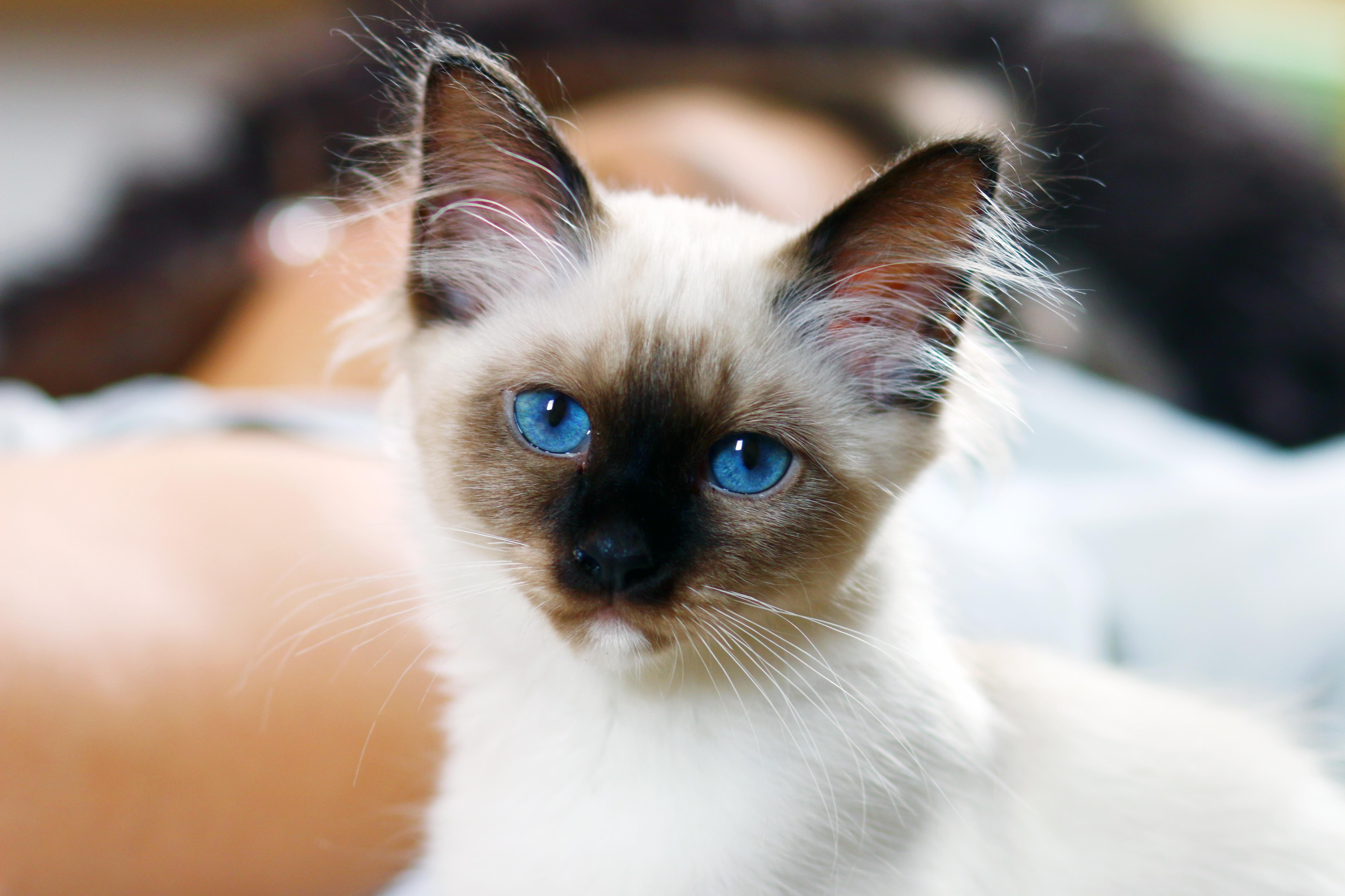 Female Ragdoll Cat Video