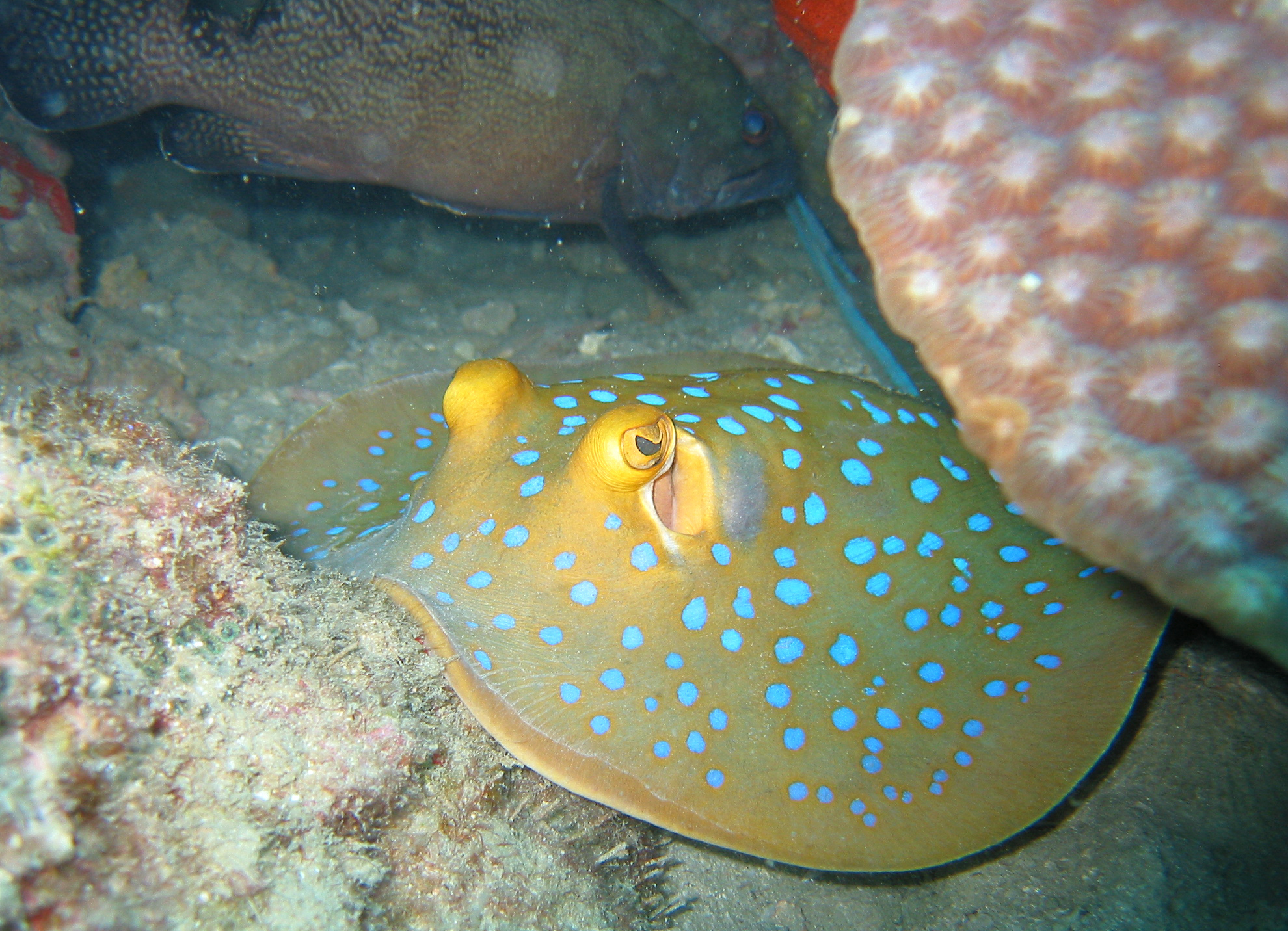 File:Blue spotted stingray.jpg - Wikimedia Commons