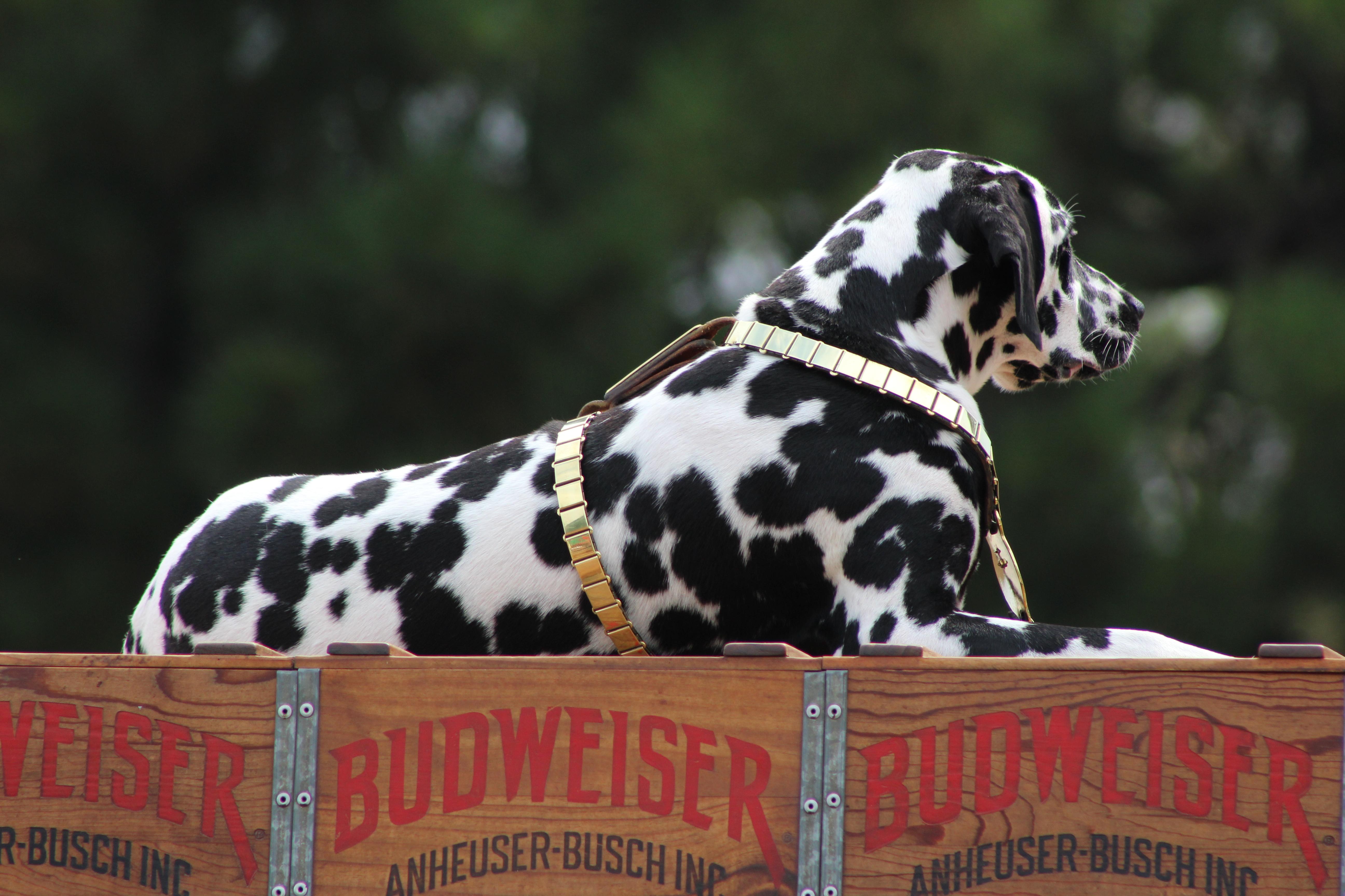 Dalmatian Dog Wikiwand