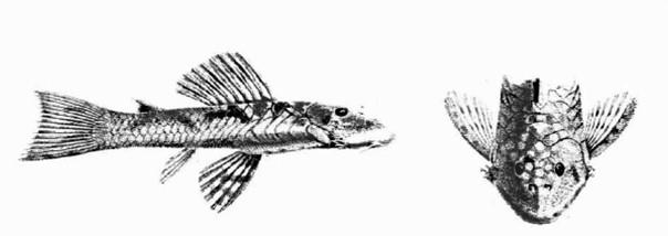 Chaetostoma guairense wikispecies for Cria de peces ornamentales