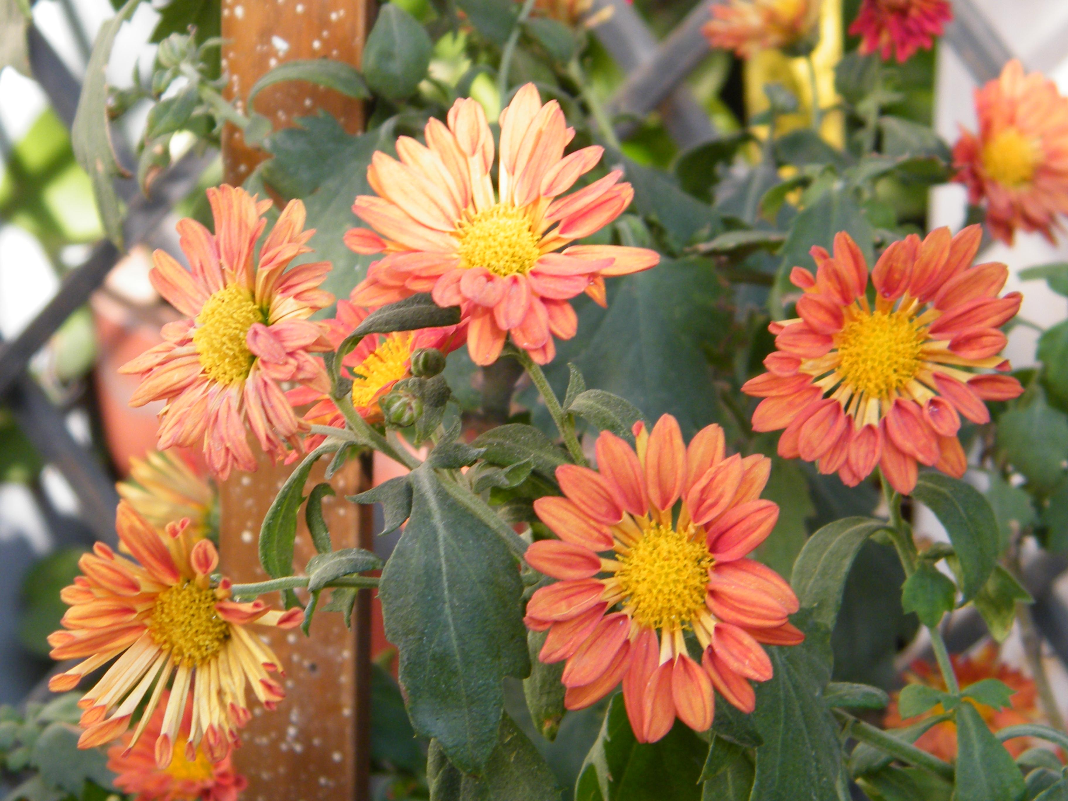 chrysanthemum x morifolium - photo #37