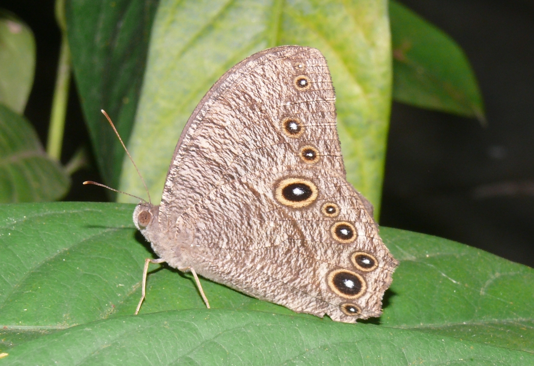 File:Common Evening Brown (Melanitis leda) UN. Colaba, Mumbai..jpg -  Wikimedia Commons