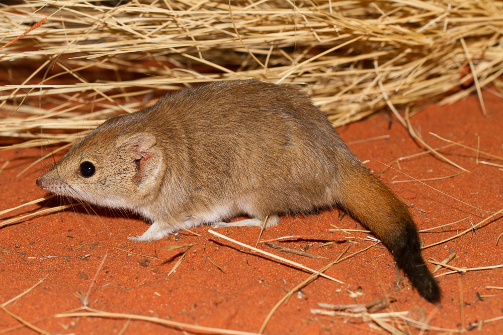 The average litter size of a Crest-tailed mulgara is 6